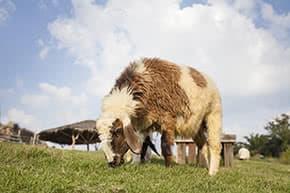 Tierhalterhaftpflicht - Schaf auf der Weide